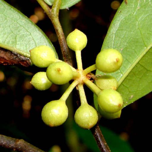 Medicinal Plants of Laos
